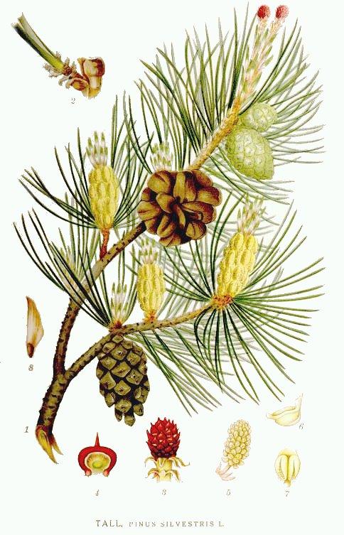 Pinus silvestris-Сосна обыкновенная