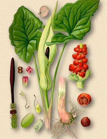 Дубовый мох. Полезные свойства. Лечение