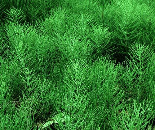 Хвощ полевой - Equisetum arvense