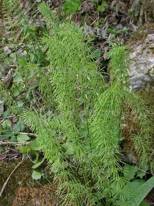 Хвощ луговой - Equisetum pratense