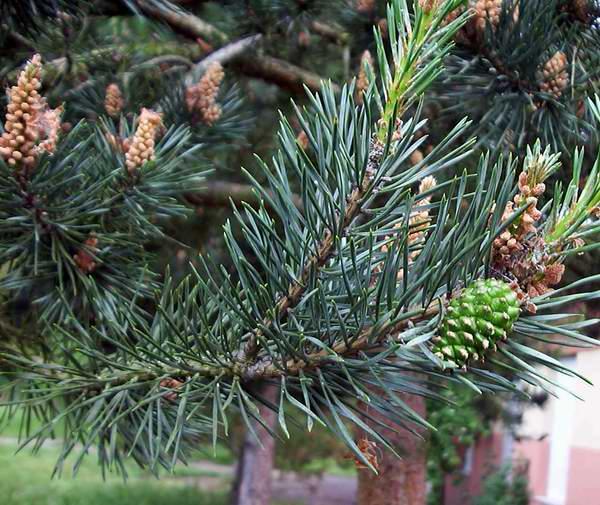 Сосна обыкновенная-Pinus silvestris