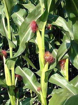Кукуруза. Кукурузные рыльца. Лечение. Полезные свойства