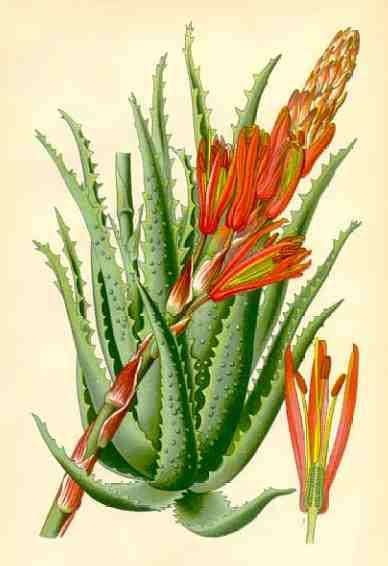 Aloe arborescens - Алое Древовидное