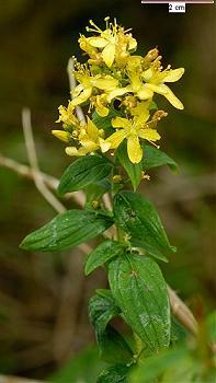 Зверобой жестковолосистый - Hypericum hirsutum
