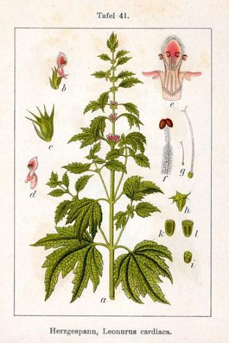пустырник-leonurus-sibiricus