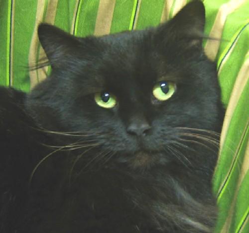 Черная кошка с зелеными глазами 8