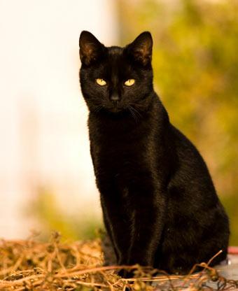 Черная кошка с зелеными глазами 9