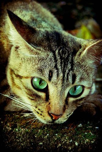 Полосатая кошка с зелеными глазами