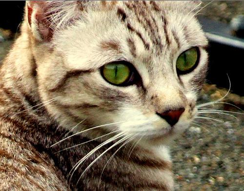 Рыжая кошка с зелеными глазами