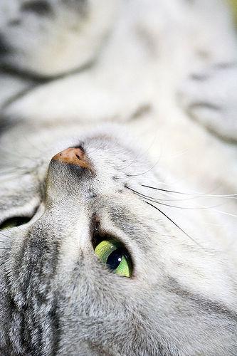 Серо-белая кошка с зелеными глазами