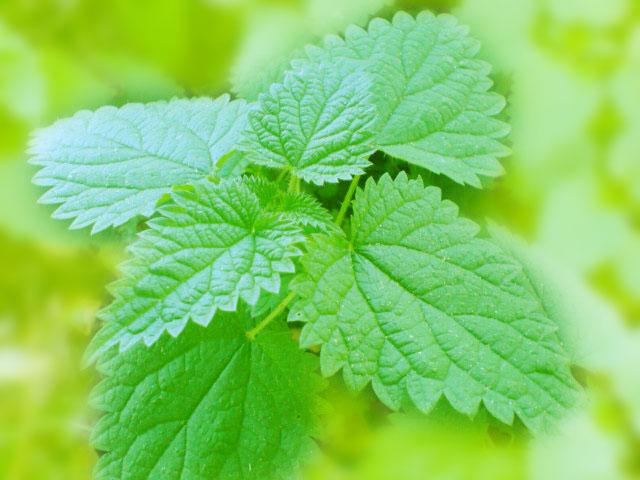 Полезные свойства листьев вишни  секреты и рецепты применения