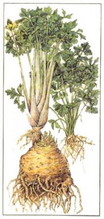 как есть стебли сельдерей чтобы похудеть