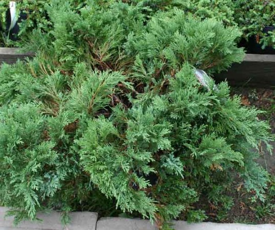 можжевельник растение фото