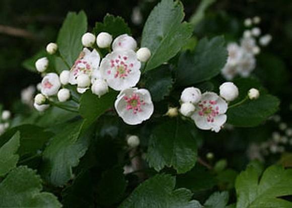 листья боярышника лечебные свойства